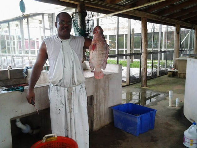 Jimmi Jones selects tilapia fish to prepare fillet for a customer. Credit: Zadie Neufville/IPS
