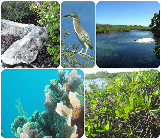 op: A broken culvert; a green heron; and a boat hull blocks the waterway Bottom: Healthy coral and a healthy mangrove (Photos via Ancat)