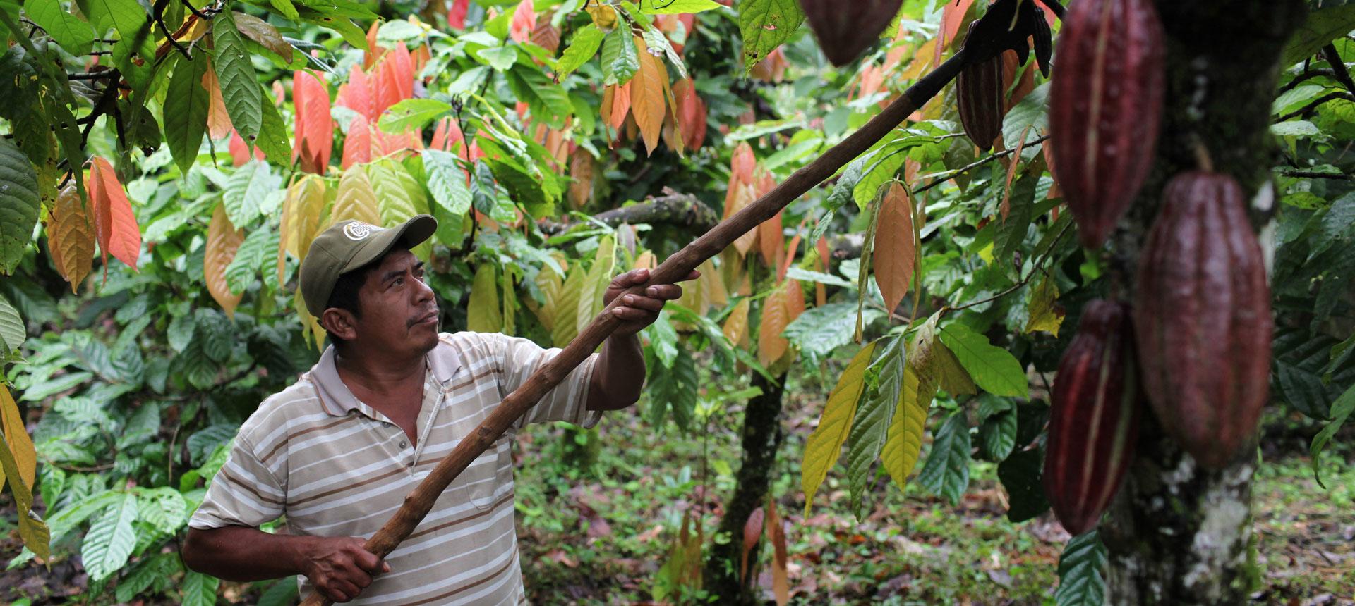 Cacao belize caricom