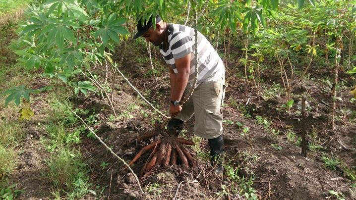 A young farmer harvests cassava in Guyana. (Photo: Canbean Associates Inc.)