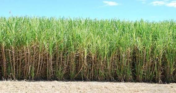 Guyana-sugar-cane-field: (Photo via Chronicle Newspapers)