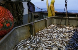 The decline in fish catches is influenced by many factors, from climate change to overfishing and boat activity. (Photo via Reuters)