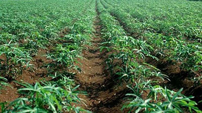 Photo of Government to adopt Red Stripe technology in Cassava Production