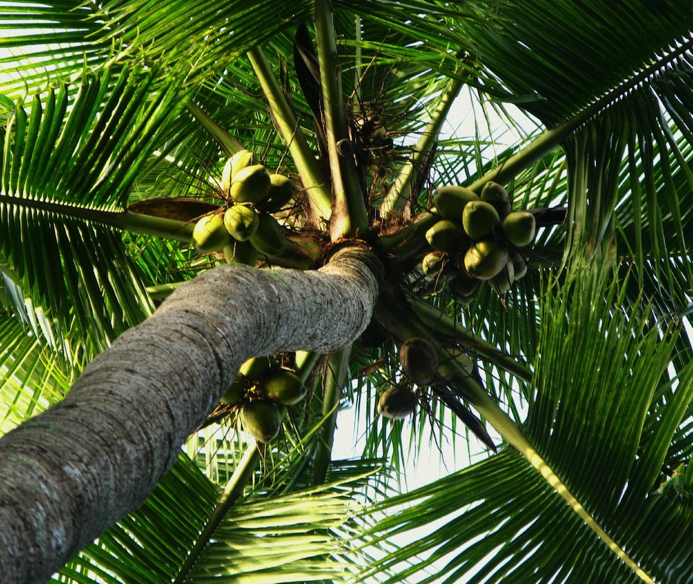 Photo of No shortage of coconuts, as Caribbean coconut water increases- CARDI boss